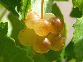 Vitis vinifera Chasselas Doré C3 vigne greffée