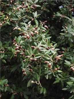 Quercus ilex Haute Tige 220 Circ 30-35 Pot C350-500