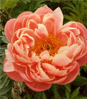 Paeonia lact. Coral Charm P23