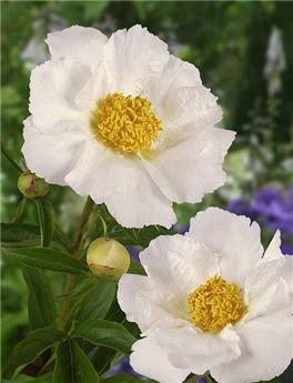 Paeonia lact. Jan van Leeuw P23