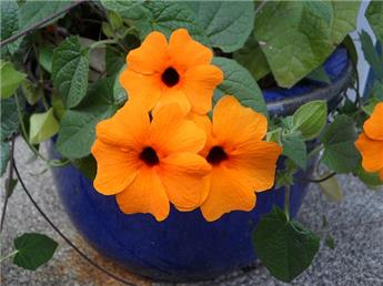 Thunbergia Suzanne Orange Pot 17