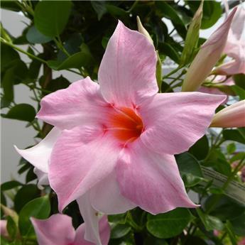 Mandevilla dipladenia rose 150 180 Pot 31