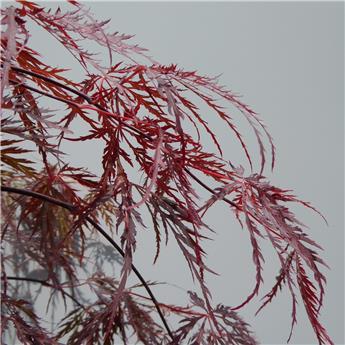 Acer palmatum Inaba Shidare Pot C7.5L