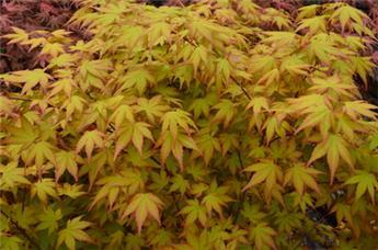 Acer palmatum Akane