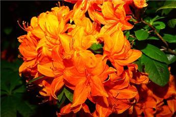 Azalea knaphill Glowing Embers C5 40-50