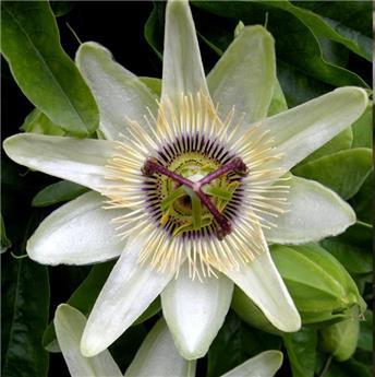 Passiflora New White Pot