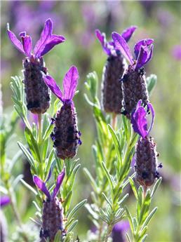 Lavande Stoechas Blue Star Pot C1.5  ** Lavande papillon **