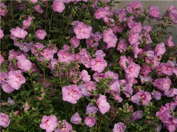 Hibiscus syr Lavender Chiffon Pot C10