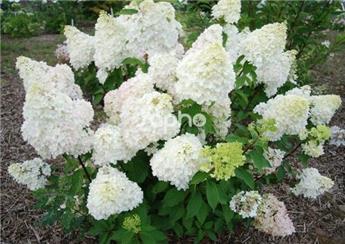 Hydrangea paniculata Diamantino Pot C35