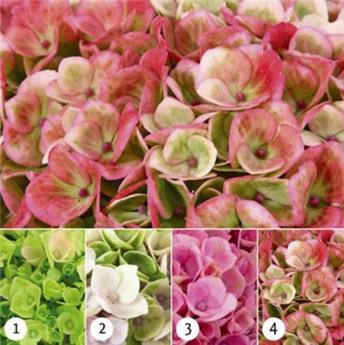 Hydrangea mac magical Revolution rose p14
