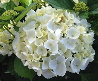 Hydrangea macrophylla White Ball Pot C20L