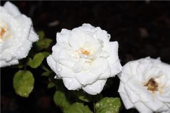 Rosier Meilove White tige 90 cm Pot P24