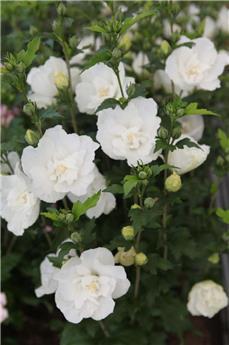Hibiscus syriacus White Chiffon c3