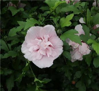 Hibiscus syriacus Pink Chiffon Pot P19