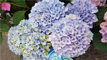 Hydrangea mac Magical® Revolution Blue Pot C5