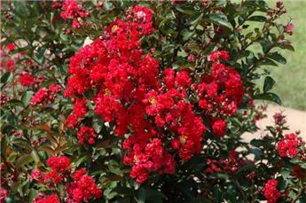 Lagerstroemia indica Best Red Tige 80 cm Pot C7