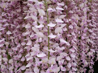Wisteria floribunda Rosea Pot C5
