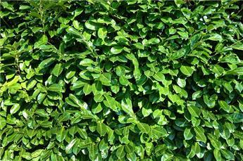Prunus lauro. Rotundifolia 125 150 cm Pot C18  XXL Touffe Forte