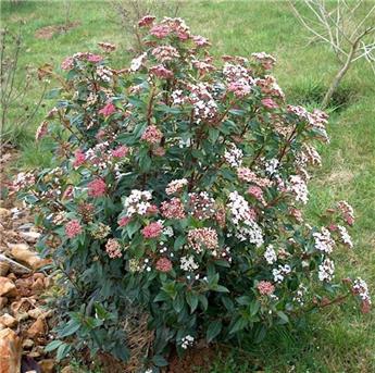 Viburnum tinus Ladybird Pot 24