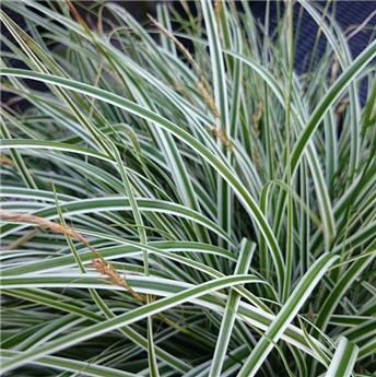 Carex oshimensis Everest P12