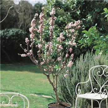 Amandier nain Almond Me Pot C4 Prunus dulcis