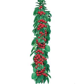 Cerisier colonnaire Shangai C10 ** Grosses cerises autofertile **