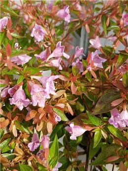 Abelia grandiflora Edouard Goucher Pot C5