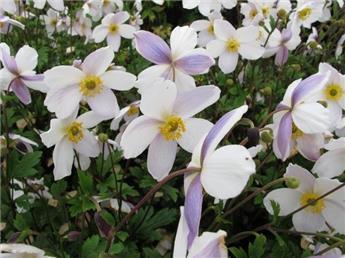 Anemone hupenhensis Elfin Swan Pot 19