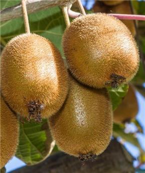 Actinidia deliciosa Hayward Pot C2 ** Kiwi femelle **