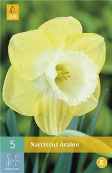 Narcisses Avalon * 5 pc / POT