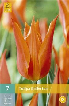 Tulipes Ballerina 11/12 * 7 pc / POT