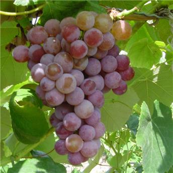 Vitis vinifera Vanessa sans pépins et résitante