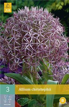 Allium Chistophii 12/14 X 3 pc
