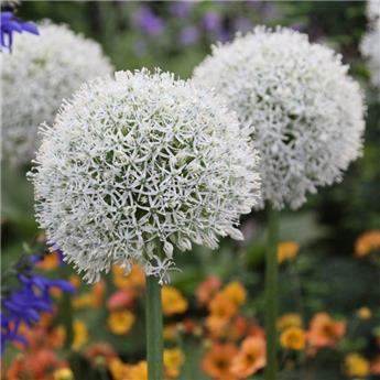 Allium Mount Everest * 1 pc de gros calibre