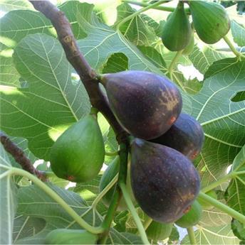 Ficus carica Noire De Caromb Buisson XTRA Fort Pot C25 ** Bifere **