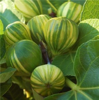 Ficus carica Panaché Pot C5,5l