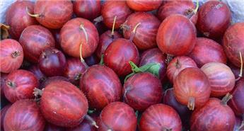 Ribes uva-crispa Captivator / tige ** sans épines **