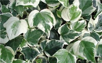 Hedera algeriensis Gloire de Marengo Pot
