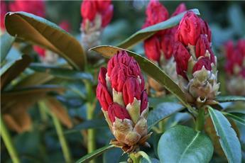 Rhododendron Karl Naue 50 60 XXL Pot