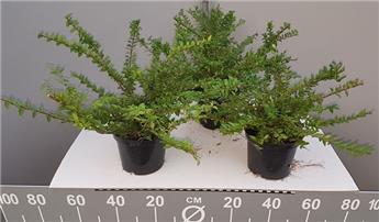 Lonicera nitida maigrun 20 30  Pot C1.5 ** Promo par quantité **
