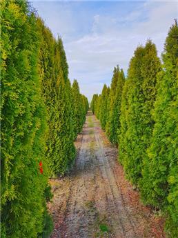 Thuja occidentalis Smaragd 250 300 motte
