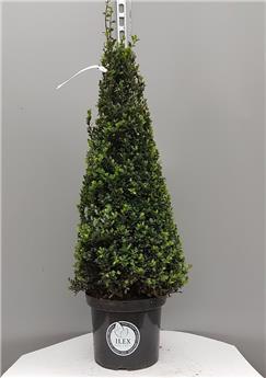 Ilex crenata Dark Green Pyramide 90 100 cm Pot P32