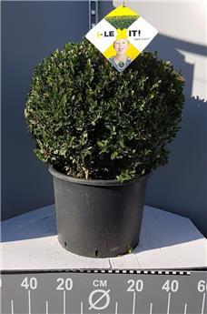 Ilex crenata Dark Green Boule 30 40 cm Pot C7.5L