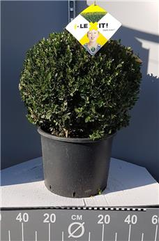 Ilex crenata Dark Green Boule 35 40