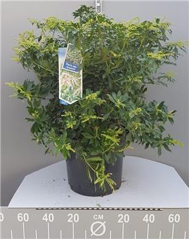Pieris japonica Rosalinda 50 60 cm Pot