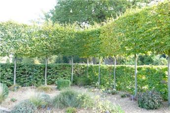 Carpinus betulus Haute Tige Palissé 14 16 * 4 étages Tronc 200 cm