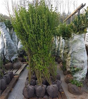 Ligustrum ovalifolium motte 150 175 XXL forte plante