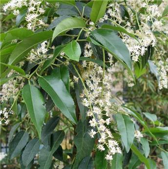 Prunus lusitanica 060 080 Pot C3.5
