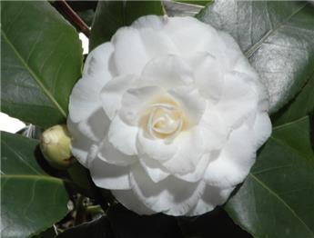 Camellia japonica Alba Plena 8 ans 80 100 cm