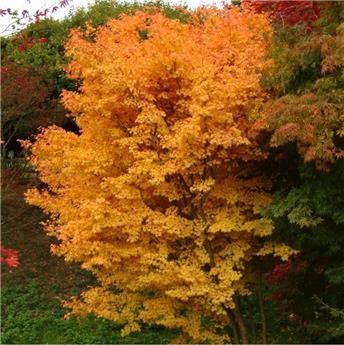 Acer palmatum Sangokaku 200 250 touffe forte